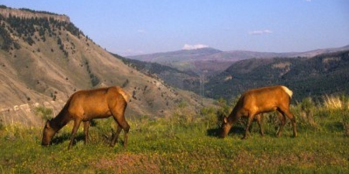 6038029-cow-elk-and-mountain-scene